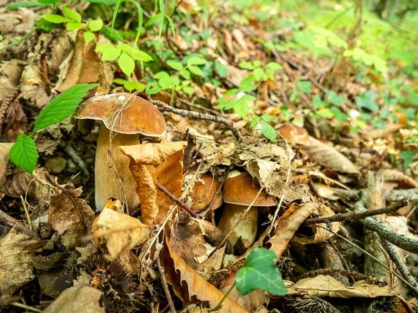 cèpes forêt automne ariège